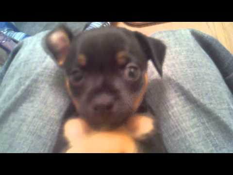 5 Week Old Chihuahua Puppies – Dora and Diego