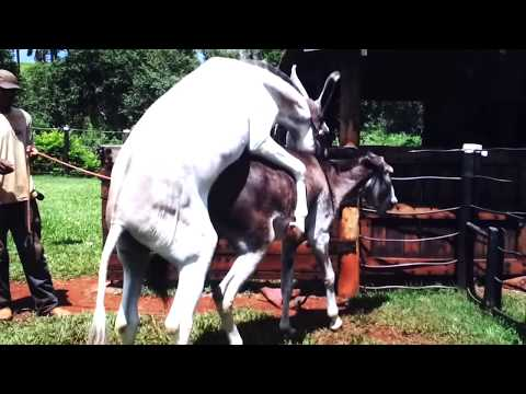 Video Hybrid Horse Donkey Mating with Burro download in MP3, 3GP, MP4, WEBM, AVI, FLV January 2017