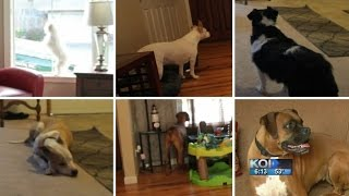Would your dog protect you during a break-in?