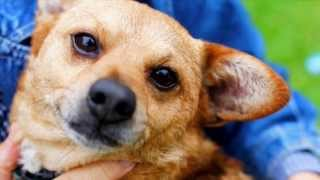 Rudy - Shiba Inu / Mixed Dog For Adoption