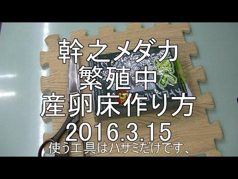 幹之メダカ稚魚100匹.2016.3.15