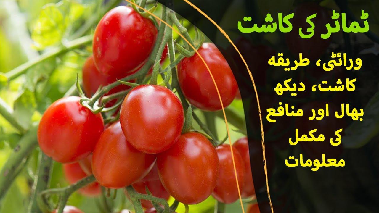 ٹماٹر کی کاشت - Tamatar ki kasht - Tomato Cultivation