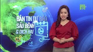 Cảnh báo rầy nâu, rầy lưng trắng hại lúa ở miền Bắc (Thông báo tình hình sâu bệnh 7 ngày)
