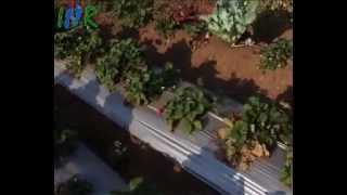 Mahabaleshwar India  city photos : Strawberry Plant Garden, Mahabaleshwar - Indian Strawberry Fruit Video