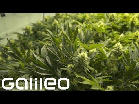 marihuana - Galileo im Web: http://bit.ly/p7galileo Galileo auf Facebook: https://www.facebook.com/Galileo --------------------------------------------------------------...