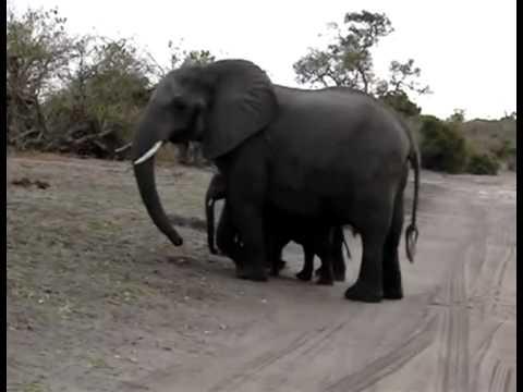 Tierno bebé elefante estornuda frente a turistas