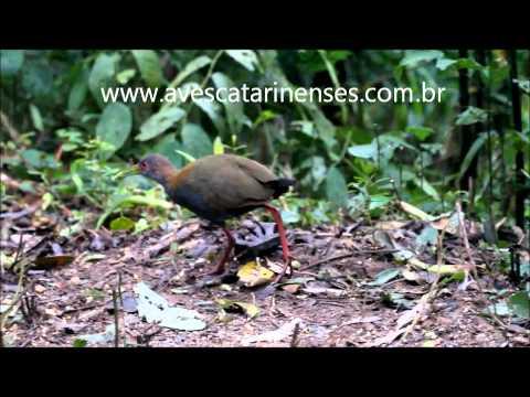 Saracura-do-mato - Cristiano Voitina
