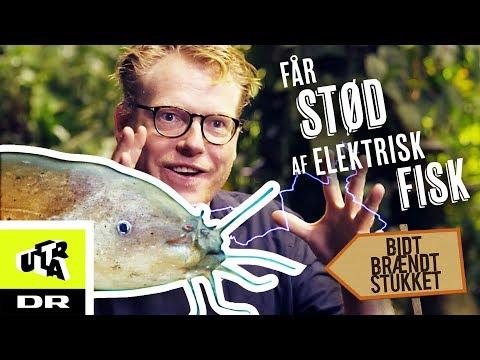 Får stød af elektrisk fisk - Elektrisk malle | Bidt, brændt og stukket