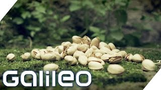 Video Der Weg der Pistazie | Galileo | ProSieben MP3, 3GP, MP4, WEBM, AVI, FLV Juli 2018