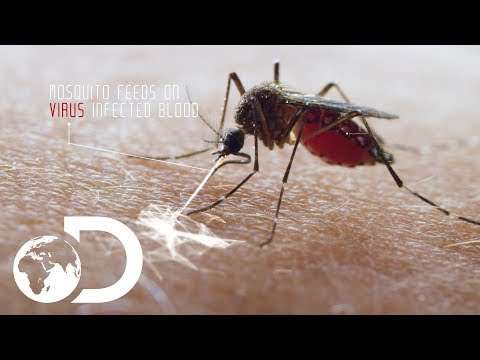 Deadliest Creature In the World   Mosquito