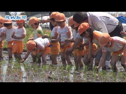 中郷保育園児が高萩市の水田で田植え体験