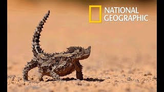Video Wild Arabia - Hidden Deep in the Desert   Cold Blood (Nat Geo Wild) MP3, 3GP, MP4, WEBM, AVI, FLV Agustus 2019
