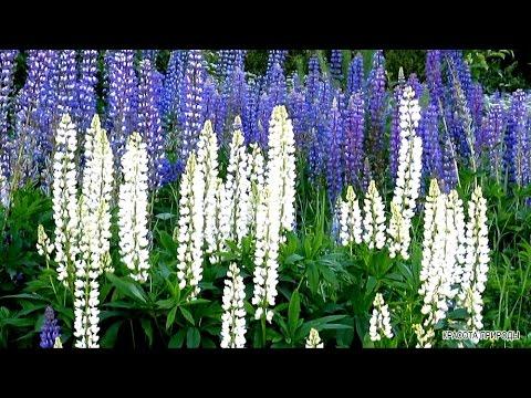 Красота Природы Лето Цветущая Поляна Цветы Пение Птиц Звуки Природы