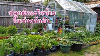 ปลูกผักอะไรบ้างในช่วงกักตัว - my emergency garden during lockdown (14 May 20)