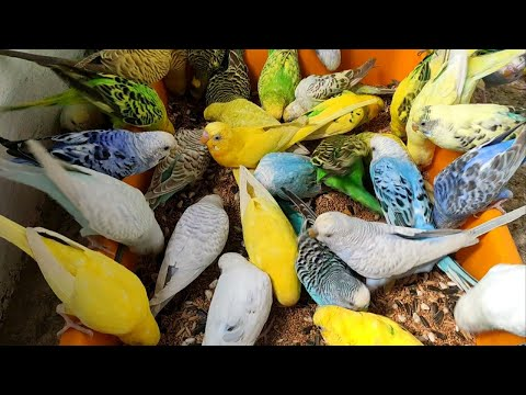 How to Breed Budgies parrots and Truth of Breeding formula