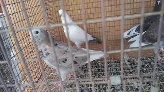 BYB Rolling Pigeon update by Black G 420