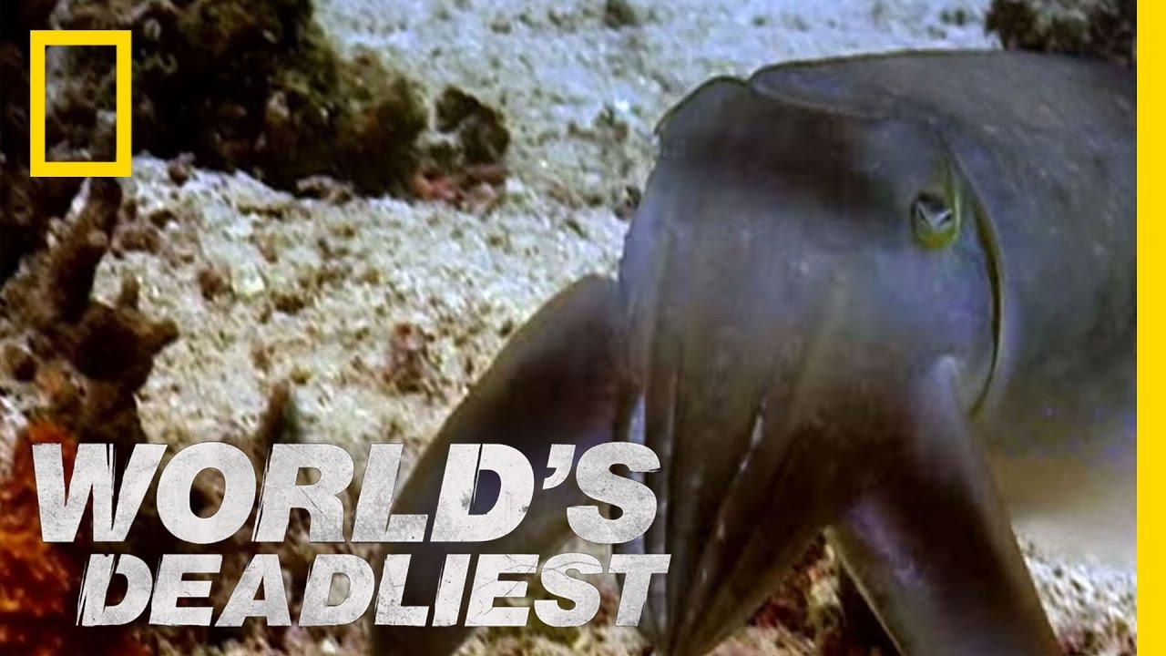 """World's Deadliest – """"Sudden Death"""" Cuttlefish"""