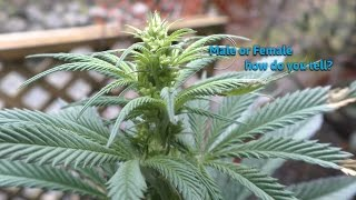 Male or Female plants  how do you tell ? by Urban Grower