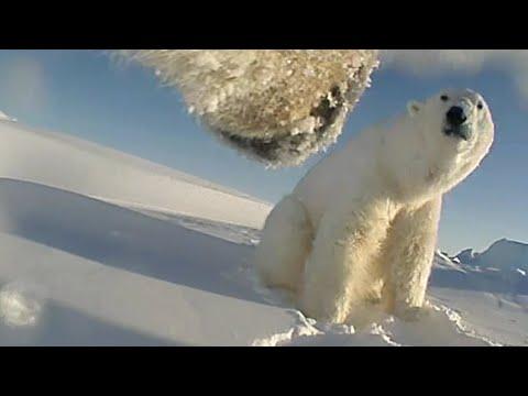 Seltene Aufnahmen: Eisbär mit Kamera