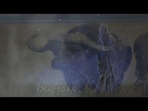 The Meaning Of The Dream In Which You Saw Buffalo