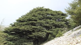Shouf Lebanon  city photos : Al-Shouf Cedar Reserve - Maasser Cedar Forest, Lebanon