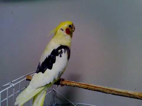 Calopsita Exótica Pingo - Canta o Hino Nacional