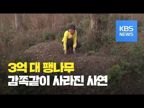 """""""3억 짜리 팽나무 뿌리째 파내""""…되팔려다 경찰에 '덜미' / KBS뉴스(News)"""