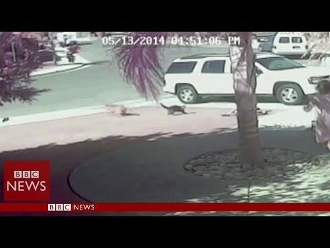 Храбра котка спаси дете от подивяло куче