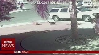 'Super Cat' saves boy from dog attack in California - BBC News
