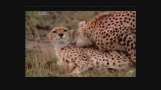 Gepárd párzás