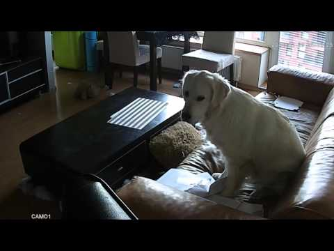 YIKES! Dog Caught On Video Destroying Apt (but still a cutie)