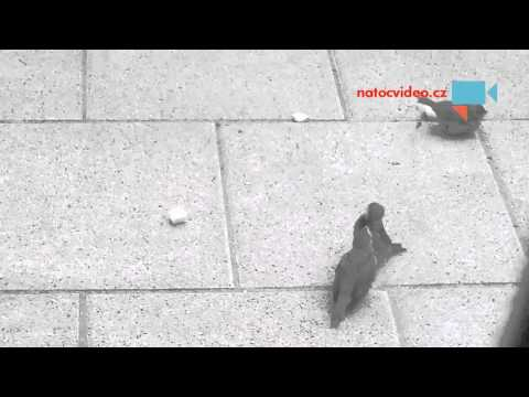 Taťka vrabčák krmí o sto šest ...