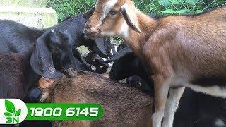 Chăn nuôi dê | Dê bị bệnh đậu có chữa được không?