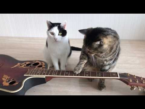 Kaksi musikaalista kissaa soittelee kitaraa