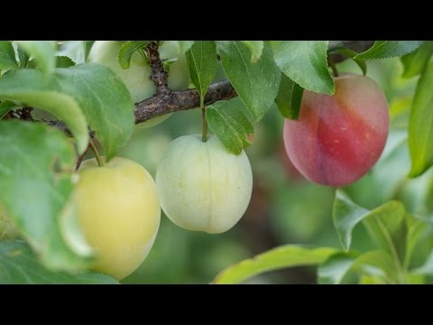 5 Reason to Thin Fruit Trees