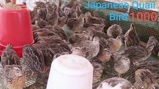 1000 টা বতা চৰাই পালন কৰিলে কিমান টকা লাভ কৰিব পাৰি? How to profit 1000 Quail bird farming?