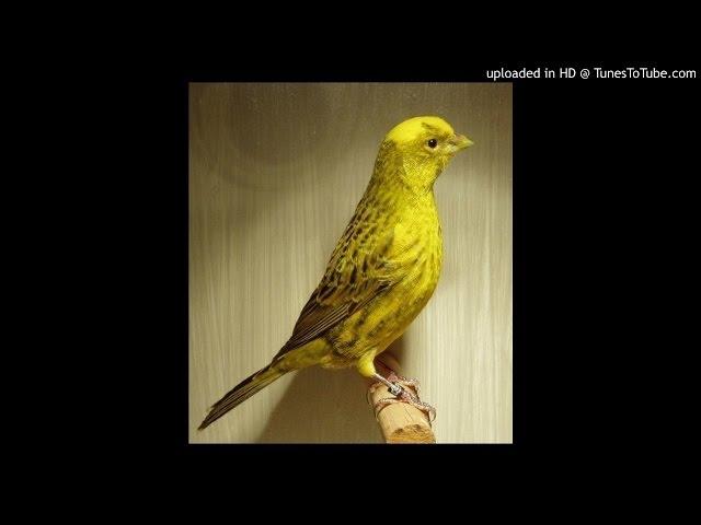 download suara kicau burung kenari chopper mp3fordfiesta