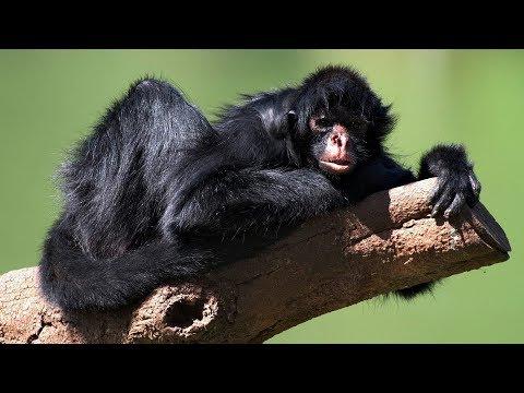 Spider monkeys in wild, Amazon Rainforest