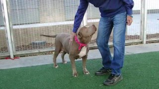 CHOCOLATE - Mastiff (short coat) Dog For Adoption