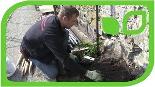 Ippenburger Gartentipps: Wie werden Hopfen gepflanzt?