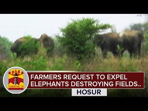 Farmers-request-to-expel-elephants-trespassing-agricultural-fields-Hosur-Thanthi-TV