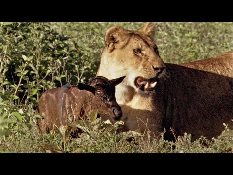 Baby Wildebeest Treats Lioness Like Mom