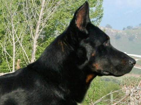 French Shepherd (Beauceron Berger de Beauce) - Dog Breed