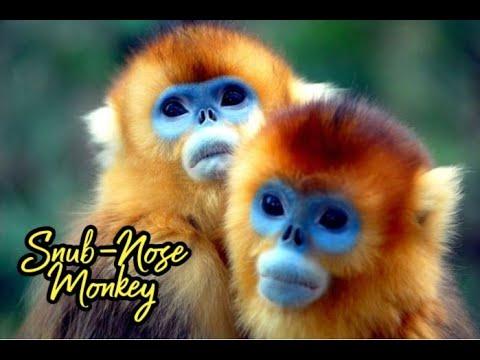 Video Rare Footage of 2 Golden Snub Nosed Monkeys Mating (Ocean Park HK) download in MP3, 3GP, MP4, WEBM, AVI, FLV January 2017