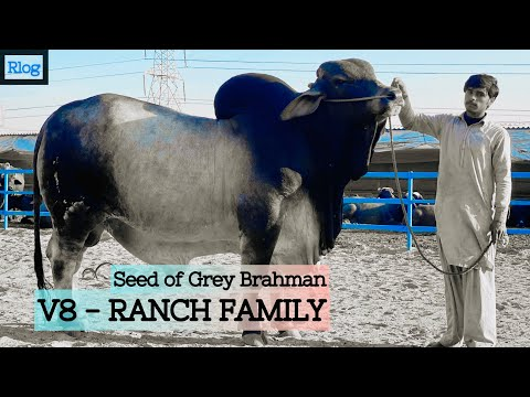 V8 | Grey Brahman | Huge Bull | Rlog