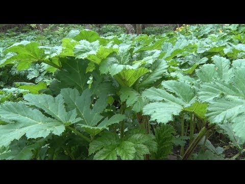 У Житомирі на боротьбу з небезпечними рослинами готові витратити 170 тис грн