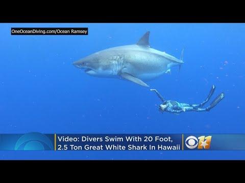 Video - Συνάντηση με τον μεγάλο λευκό καρχαρία