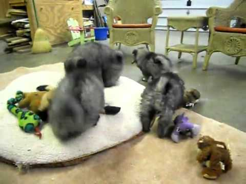 Keeshond Puppies Litter 11-12