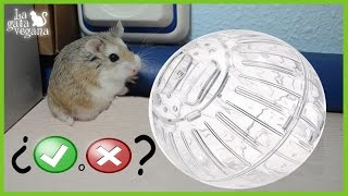 Hola bichejos! En este vídeo quería hablar sobre las bolas de plástico en las que se meten a los hámsters, ratones, ratas, jerbos,etc. para que hagan ejercicio y que van rodando por el suelo. ¿Son buenas para el animal o son crueles? En este vídeo lo explico.Para ver más vídeos de hámsters: https://goo.gl/At1Md7Vídeos jerbos: https://goo.gl/IR4NU3Vídeos ratas: https://goo.gl/5D6sBAVídeos ratones: https://goo.gl/kqM63CSuscríbete: https://goo.gl/thLKcBEs posible que tus dudas ya las haya respondido antes en algún vídeo. Te recomiendo que compruebes si es así para que obtengas respuesta lo antes posible. Mis redes sociales:Twiter------ https://twitter.com/lagataveganaFacebook----- https://www.facebook.com/lagataveganayt Instagram -------- https://www.instagram.com/lagataveganaytEmail -------- lagatavegana@gmail.com (no contesto dudas)Google +  ------- https://plus.google.com/+LaGataVegana Si quieres ayudarme en los gastos veterinarios de los animales que recojo de la calle : PayPal : lagatavegana@gmail.com Patreon: https://goo.gl/scpR7X¡Gracias!  ;)Música de la librería de YouTube:Electrodoodle de Kevin MacLeod está sujeta a una licencia de Creative Commons Attribution (https://creativecommons.org/licenses/by/4.0/)Fuente: http://incompetech.com/music/royalty-free/index.html?isrc=USUAN1200079Artista: http://incompetech.com/