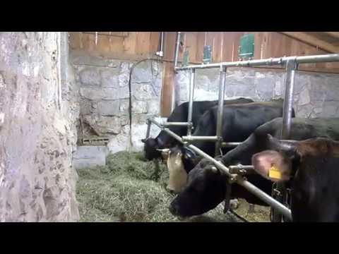 Mucche nella stalla con musicoterapia